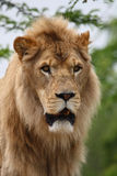 Lion head. Close up shoot of male lion head Stock Photography