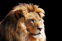 Lion head. On black background Stock Photo