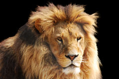 Lion head Royalty Free Stock Image