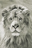 Lion head Royalty Free Stock Images