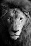 Lion Head BW Royalty Free Stock Image