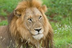 Lion head center surrounded by lush green grass royalty free stock images