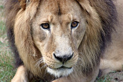 Lion Head close up. Angry looking lion in closeup stock photos