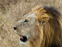 Lion head close-up. On a background of grass Royalty Free Stock Images