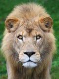Lion head. Close up shot of lion head Stock Image