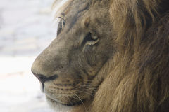 Lion head closeup in profile Stock Photography