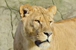 Lion head and face Stock Image
