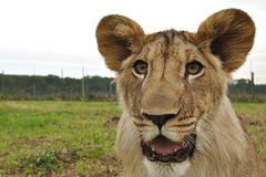 Lion head with fence in background Stock Photos