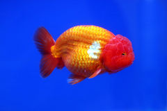 Lion head gold fish Royalty Free Stock Photo