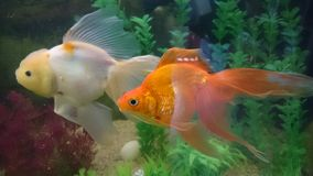 Lion head gold fish and golden gold fish. Pearl white lion head and bright orange long fins aquarium fish Royalty Free Stock Images