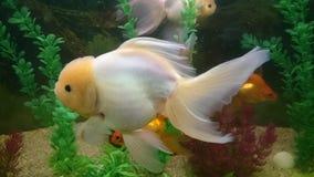 Lion head gold fish Stock Photo