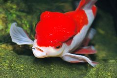 Lion head goldfish Royalty Free Stock Photo