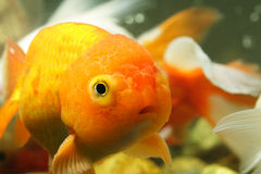 Lion head goldfish stock images
