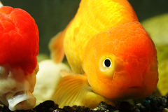 Lion head goldfish stock photos