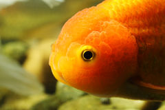 Lion head goldfish royalty free stock photography