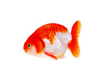 Lion head goldfish Stock Image