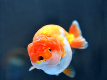 Lion head goldfish Royalty Free Stock Images