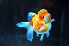 Lion head goldfish Royalty Free Stock Photos