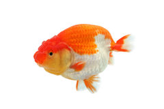 Lion head goldfish. Swimming the water stock image