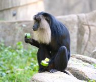 Lion Head Macaque Monkey Eating è verdure Immagini Stock