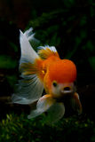 Lion head oranda goldfisch. Red cap oranda goldfish, close-up Stock Photography