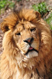 Lion head, Panthera leo Stock Image