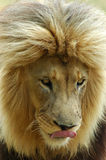 Lion head portrait. A portrait of a lion male with a big mane watching other lions in a game park in South Africa Stock Photos