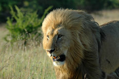 Lion head portrait. A portrait of a lion male with a big mane watching other lions in a game park in South Africa Stock Photography
