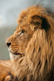 Lion head in profile Royalty Free Stock Photo