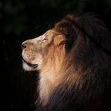 Lion Head. Profile of lion`s head Royalty Free Stock Photography