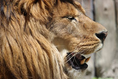Lion head profile Stock Photos