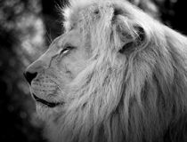 Lion head profile at the zoo in black and white. stock photography