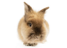 Lion Head Rabbit Stockfotografie