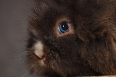Lion head rabbit bunny against grey studio background. Stock Images