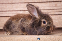 Lion head rabbit bunny lying on a wood box Royalty Free Stock Photography