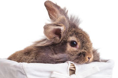Lion head rabbit bunny sitting in a wood basket. Stock Photo