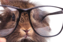 Lion head rabbit bunny wearing glasses. Stock Images