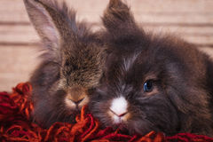 Lion head rabbit bunnys lying together on a red scarf. Royalty Free Stock Photo