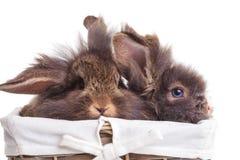 Lion head rabbit bunnys sitting inside a wood basket. Stock Photo