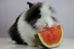 The Lion Head Rabbit. Eating water melon royalty free stock photo