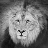 Lion Head. Lion`s head in black and white royalty free stock photo