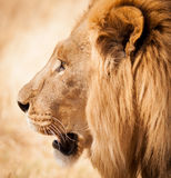 Lion head side profile in Zambia Africa. Lion head side profile while walking close to jeep on safari Stock Photo