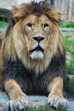 Lion head. ZOO Olomouc, Czech Republic, Europe Stock Photography