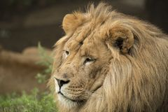 Lion Headshot Fotografie Stock