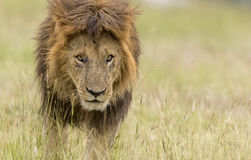 Lion. Headshot at Masai Mara Kenya Royalty Free Stock Photo