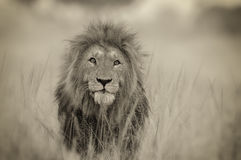 Lion Headshot. At Masai Mara Kenya stock image