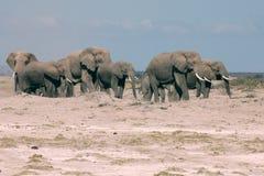 Family of elephants Royalty Free Stock Image