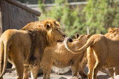 Lion herd Royalty Free Stock Images