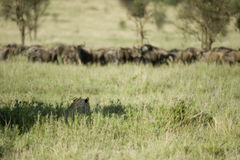 A lion is hidding for a herd of wildebeest royalty free stock photography