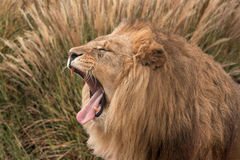 Lion hiding & roaring Royalty Free Stock Images